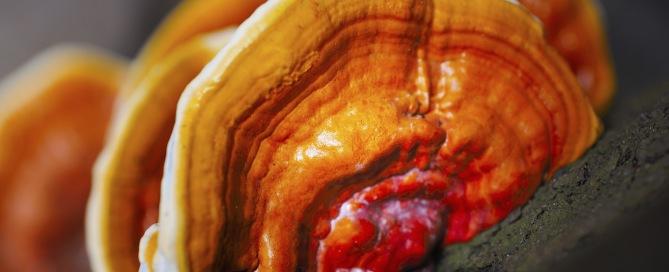 Ganoderma lucidum - Reishi